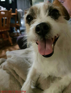 6 year old jack russell shih tzu