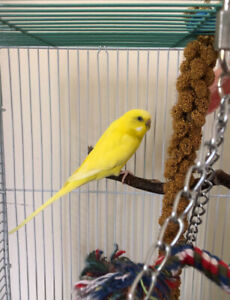 Free Young Female Parakeet.