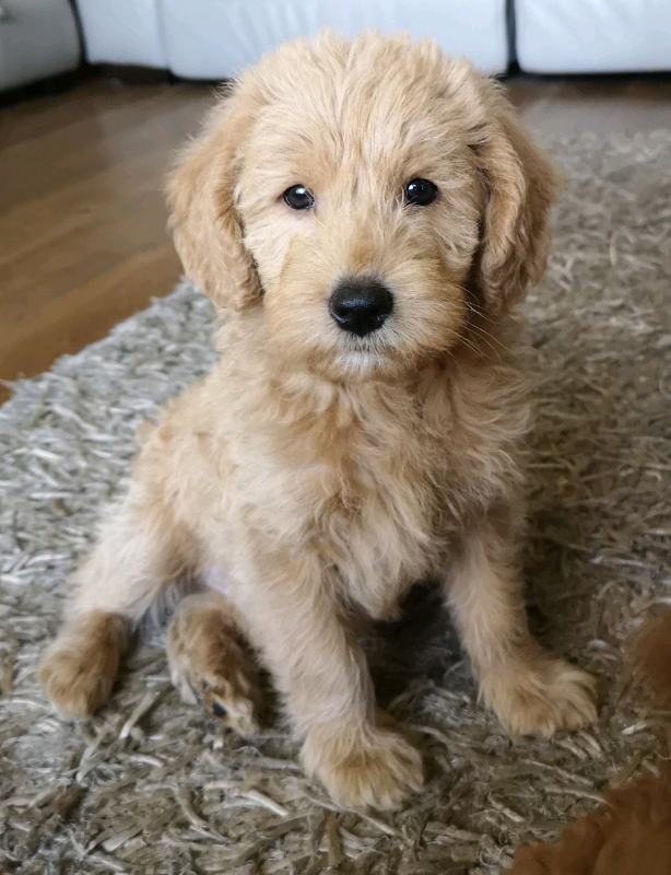 Miniature Labradoodle Puppies In