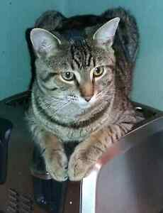Missing Grey Male Tabby (Donnenwerth Dr and Activa in Kitchener)