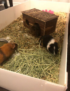 Free Family of  Guinea Pigs to a Loving Home Must stay together
