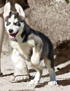 handsome husky pups ready for their new home today