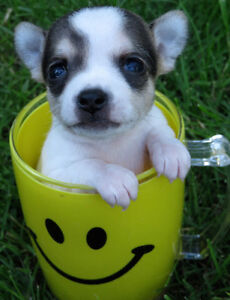 TEACUP APPLE HEAD CHIHUAHUA PUPPIES