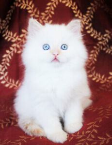 Cream Point Ragdoll Boy Kitten is Available for Adoption