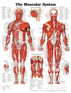 Medical Poster   eBay