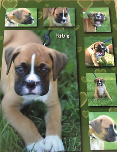 Looking to buy a fawn male boxer