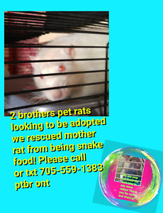 2 male brother rats looking for new home!