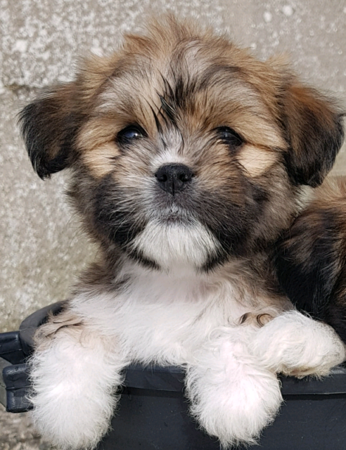 Beautiful Lhasa Apso puppies for sale | in Dromara, County Down | Gumtree