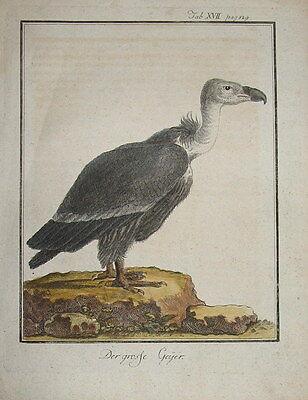 c1800 Vogel, Bird, Der Geier, Vultur, Vulture - Kolorierter Kupferstich