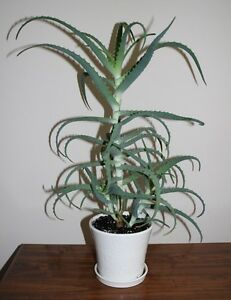 Huge Aloe plant (Aloe Arborescens Mill) + 2 babies in one pot