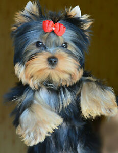 Tiny Yorkies Purebred Puppies coming soon. Yorkie puppies.