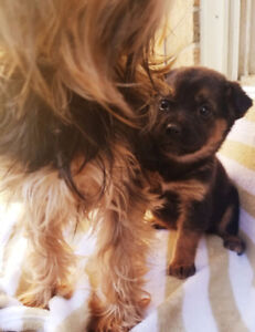 Teacup Female morkie puppy bella Ready today! Read whole ad