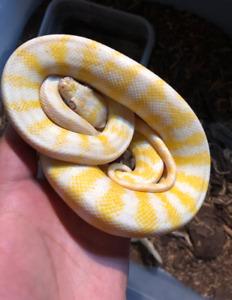 albino carpet python for sale male darwin