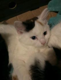 10 week old calico kitten (4th generation)