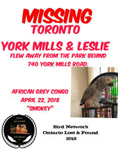 MISSING AFRICAN GREY CONGO