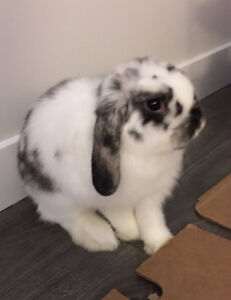 Holland Lop bunny with Full Size Indoor Cage