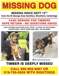 Missing Dog- Timber (Collie / Shepherd Cross)