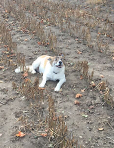 Lost Brown and White Border collie
