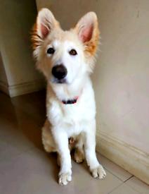 German Shepherd puppy male, KC Regd, Vaccinated