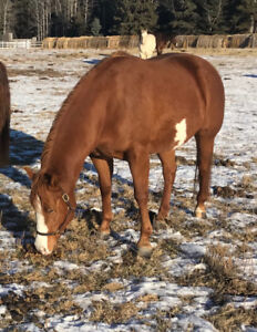 4 year old APHA filly by An Expressive Page