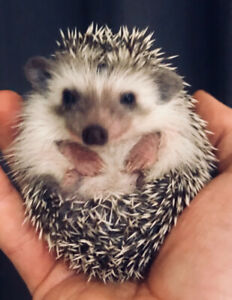 Sweetest baby Pygmy Hedgehogs ! Babies ready, no waiting list!