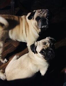 PUREBBRED  PUG PUPPIES FOR SALE   TWO LEFT  ONE GIRL ONE   BOY