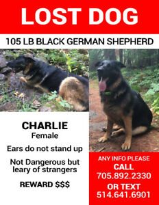 LOST DOG-  MARTEN RIVER - XL BLACK GERMAN SHEPHERD