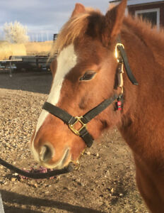 Welsh Pony Mare: NEED SOLD ASAP