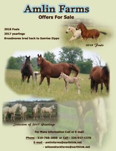 2018 Foals For Sale by Palomino Stallion - Sunrise Zippo....