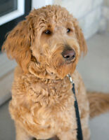 Goldendoodle looking for a new home