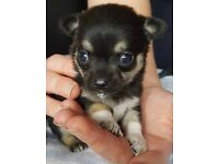 2 Chihuahua pups (girls)