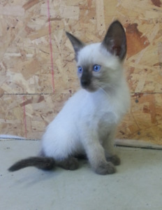 Purebred Siamese kittens - ready to go!