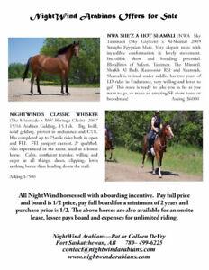 NightWind Arabian Horses Available