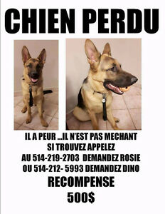 Lost German Shepherd named CJ
