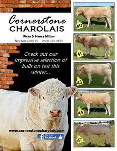 Selection of Purebred, Registered Charolais Bulls