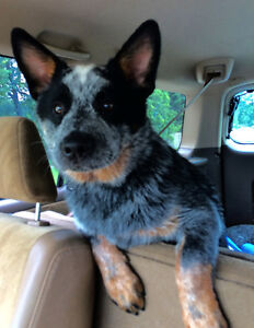 Male, 6 month old Blue Heeler, pure bred