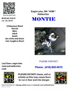 Montie lost chihuahua short haired dog