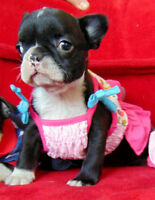French bulldog pups **reduced this weekend only**