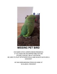Green Indian Ringneck Lost