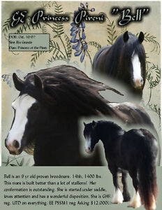 Traditional Gypsy Vanner mare