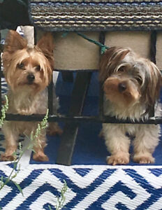 Pure Yorkie Puppies