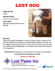 Missing 10 month old English Sheepdog