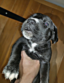 Presacanario pups