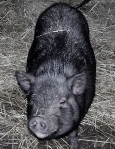 Foster home a miniature potbelly pig