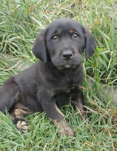 LAB PUPPIES-Ready to Go!!  1 Female Left