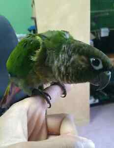 Green Cheek Conure For Sale