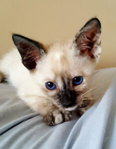 3 REGISTERED CLASSIC SIAMESE KITTENS, 1st & 2nd SHOTS - SALE