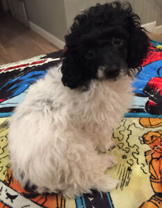 Toy parti male poodle ready to join his new family