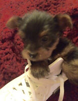 Beautiful Yorkshire Terrier pups-ready now