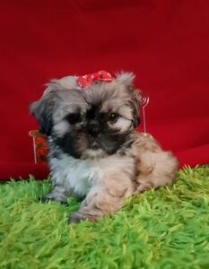 Shihtzu imperial femelle  (Puppy Country)